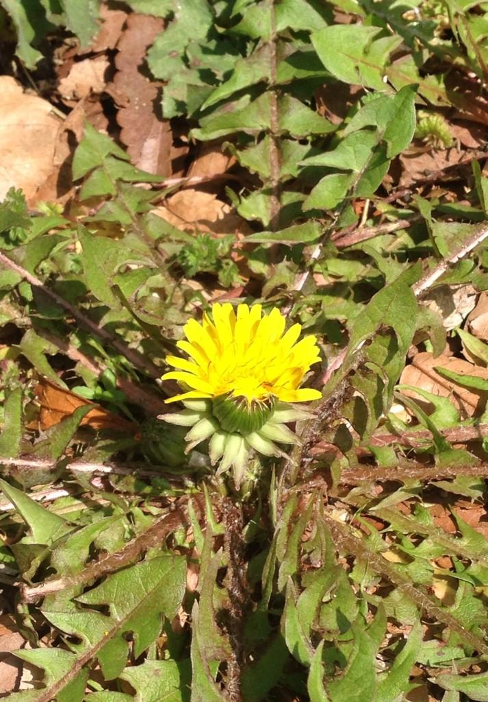 春の息吹、雑草たちの生命を頂きます。