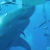 【巨大】デカいにもほどがある、超巨大なホオジロザメ