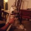 【犬】マリファナを食べた犬、完全に目があっちの世界へ。