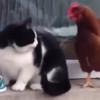 【猫とニワトリ】飯バトル!生存競争