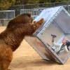 【イッテQ!】巨大なクマに弄ばれる、海外で話題の日本人女性→イモトアヤコだった・・・