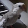 【トリ】オカメインコの「ぽこちゃん」ピアノの伴奏に合わせてトトロを歌うの巻。