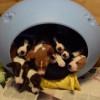 【犬】16匹の子犬、ちっさいベッドから一斉に飛び出すの巻・・・