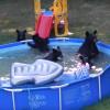 【衝撃映像】クマさんファミリー、プールで遊びまくるの巻・・・