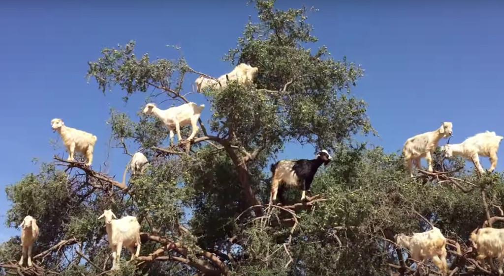 【ヤギ】ヤギが実る木がある