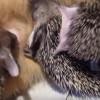 【猫ねこネコ】猫のおかあさん、ハリネズミの赤ちゃんも育てる