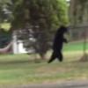 右前足を失ったクマ、完全に二足歩行をマスターする