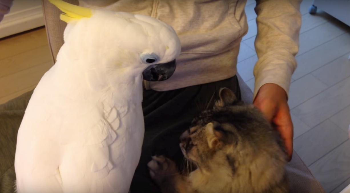 2年間かけて猫に触れるようになったオウムがいる