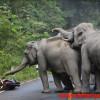 【衝撃映像】ゾウ氏「なにこの鉄のドウブツ?」・・・象の群れに襲われるバイク乗り。