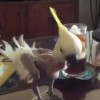 劣悪な環境でストレスMAXなオウムのハビ氏・・・自らの羽根をむしってしまうも、保護されて回復中