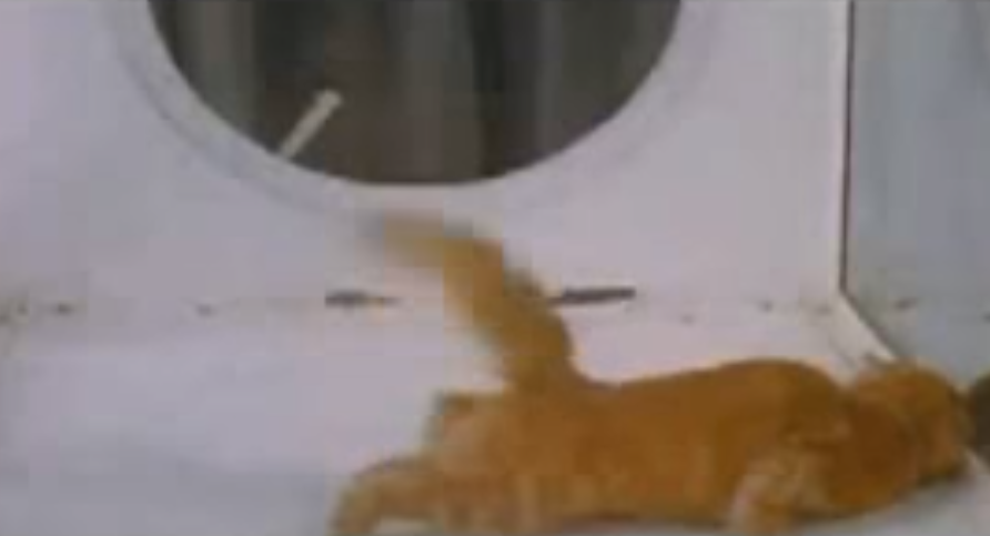 猫に幻覚剤(LSD)を吸わせた実験動画が恐ろしすぎる(1957年)