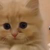 【キュン死注意!】あっあっっ!!モエキュンにもほどがある!うるるんおめめな赤ちゃん猫のおねだりポーズ