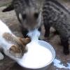猫氏「おまえら、飲んでんの?顔面洗ってんの??」・・・ジャコウネコ氏「あっあっっ!ワイ、ミルクの飲み方知らないンゴ」
