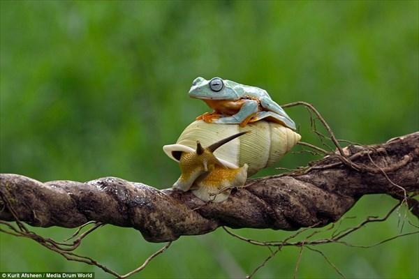 カエル氏「へいっタクシ〜っ!!」、カタツム氏「えっ、ちょまっ!!」・・・無賃乗車、いやいや無賃乗虫なカエルがいる