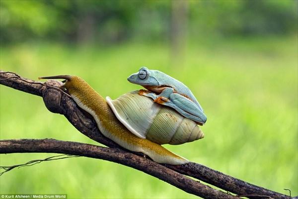 カエル氏「へいっタクシ〜っ!!」、カタツム氏「えっ、ちょまっ!!」・・・無賃乗車、いやいや無賃乗虫なカエルの巻。