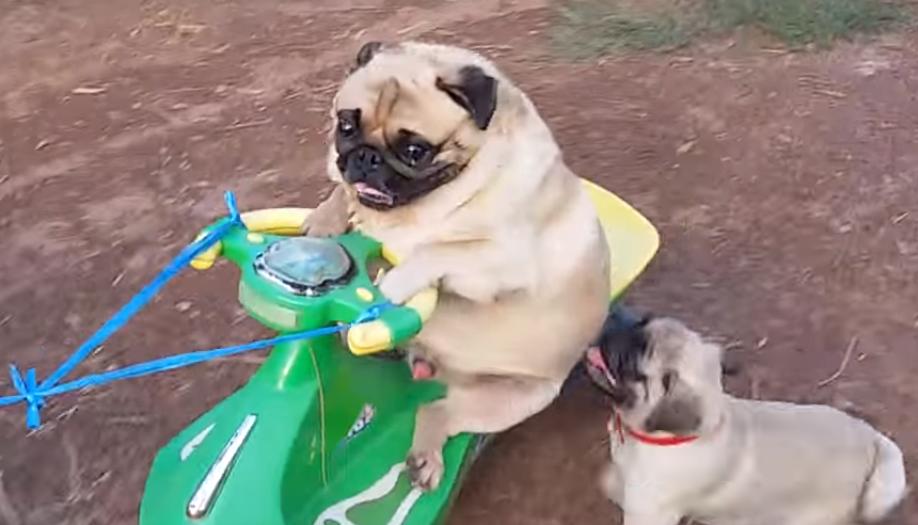 【衝撃映像 パグの威力 13】 パグとは何か?・・・「がははっ!ワイよりバイクが似合うパグはおるまいっ!!」、「あっあっっ、兄貴ぃ~、わしも乗せてくれやぁ~っ!!」