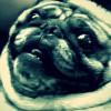 【衝撃映像 パグの威力 1】 パグとは何か?・・・ もはや犬とは思えない