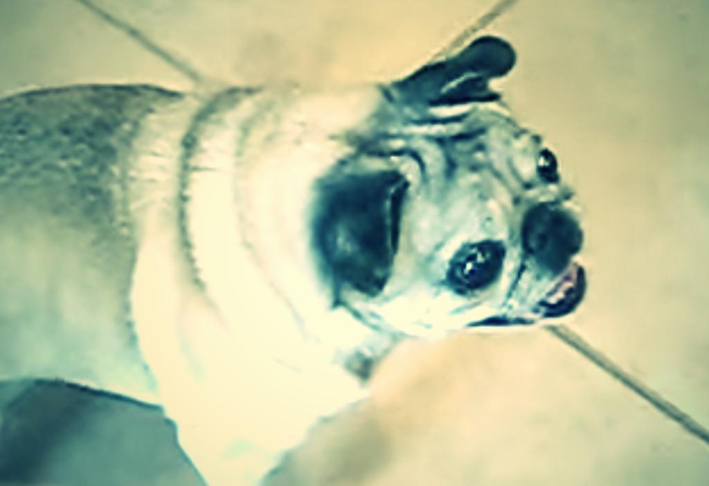 【衝撃映像 パグの威力 3】 パグとは何か?・・・ 犬の鳴き方なんて知らない。