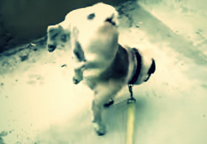 【衝撃映像 パグの威力 6】 パグとは何か?・・・ 排尿?(やり方なんてパグ次第)