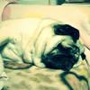 【衝撃映像 パグの威力 7】 パグとは何か?・・・ 寝ようが起きようがパグはパグでしかない