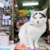 眉毛ぬこに思わずふいたよwww・・・水戸市の福を呼ぶ招き猫、ハチ。