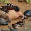 なんで他の動物たちにモテモテなの??・・・カピバラ好きは人間だけじゃないwww