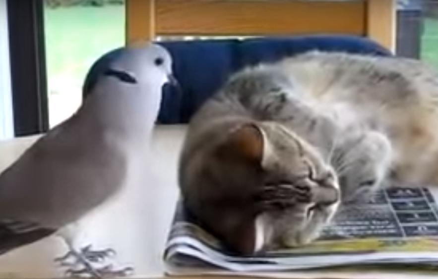 寝ている猫を起こそうとするハト。糞ほどウザいwww