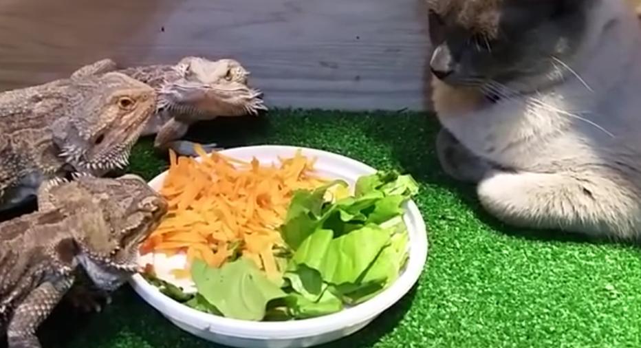 ぬこ氏「君ら、わたしの目の前で飯を食う気かね?そうなのかね??」・・・トカゲ氏が飯食えないの巻