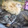 こんにちわワイの名前は猫です。ヒヨコが大きくなったんですよ。見てください。