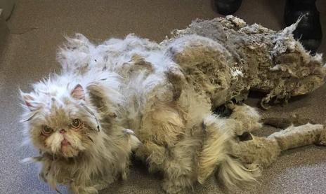 猫氏「あ、あれあれ??気付いたら、毛で出来た巨大ウンコが着いてたでござる」・・・助け出された猫のビフォー&アフター