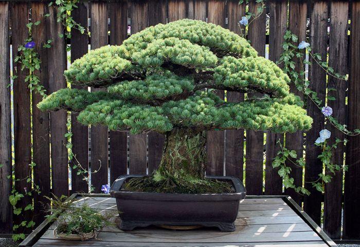 樹齢400年の盆栽