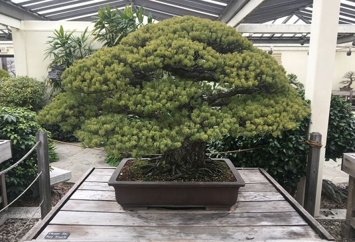 old_bonsai_02