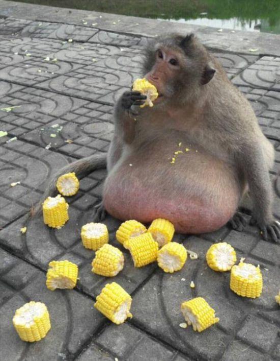 タイ 肥満 猿