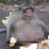 【閲覧注意】タイで話題の「超肥満 猿」。激烈に太りすぎて、横綱もちゃんこを残したくなるレベルwww