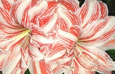 豚 バラ肉 花