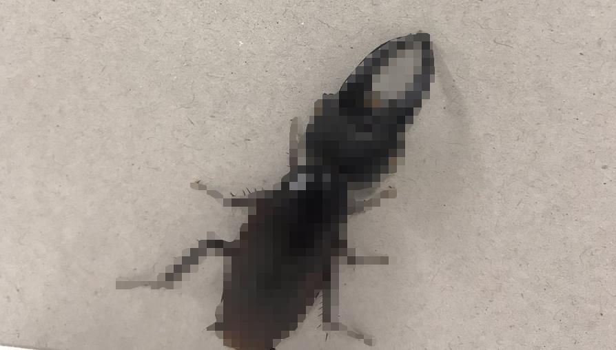 クワガタ 頭 ゴキブリ
