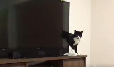 胴体が長い猫